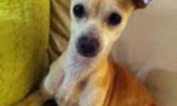Breed: Chihuahua   Age: Young   Sex: F   Size: S Hello my name is Avery I came in very scared and it took my foster mom and dad 3 days before I would let them hold me.I am very tiny only 4 lbs .I now will sit and their lap and I get to sleep in the bed