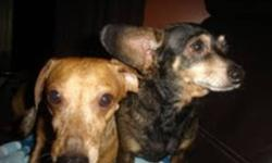 Breed: Dachshund   Age: Young   Sex: F   Size: S Hello my name is Bebe and I am a purebred dachshund.I am a great dog full of personality.I would like to introduce you to my BEST pla Lucas.Lucas is a Dachshund x chihuahua I just call him a Mexican Hotdog