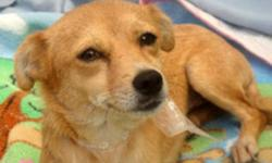 Breed: Chihuahua   Age: Young   Sex: F   Size: S Size: 9 lbs   APPROX AGE: 1 years old     History: An unmarked car in Tijuana, Mexico abandoned her on the street. Some people saw a man open his car door and throw her out and drive away.