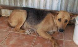 Breed: Shepherd   Age: Young   Sex: F   Size: M Ginger is between 2-3 yrs old, weights about 48 lbs and is a little on the shy side initially so we're looking for a quiet home for her so she won't be stressed by a lot of activity around her. She's in good