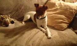 Breed: Jack Russell Terrier   Age: Young   Sex: F   Size: S This is Milkie, She gets along with everyone, cats, dogs, people. She loves playing with her toys and snuggling in a lap. Milkie will sit and lay down on command and seems to be an all around