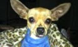 """Breed: Chihuahua   Age: Young   Sex: F   Size: S hello my name is Kate ,I know what you are thinking ...""""oh my goodness she is so skinny' well yes I am but dont feel sorry for me I AM ALIVE AND SAFE ! I am gaining weight and am very loved by my foster"""