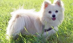 Breed: Pomeranian   Age: Young   Sex: F   Size: S Peppy is an adorable 1 yr old little girl. This sweetie will require a home without young children (8+ please) due to her shy nature. After recently being returned for being beat up by the cats in the
