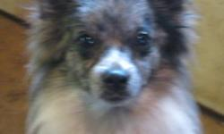 Breed: Pomeranian Shetland Sheepdog Sheltie   Age: Young   Sex: F   Size: S GRAELEE - Female Pom/Sheltie X , approx 1 year old, 10 lbs More info and pics of Graelee can be found on his foster home's blog: http://foster4tg.blogspot.com/ Graelee came to