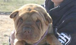 Breed: Shar Pei   Age: Young   Sex: F   Size: M Sweet little Cinnamon is a young female who was rescued from a high kill shelter along with her sister Ginger. Cinny is sweet and affectionat and has a teddy bear face. She is the more submissive of the