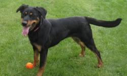 Breed: Shepherd Doberman Pinscher   Age: Young   Sex: F   Size: L Scarlet is a very sweet and affectionate girl who just lives fo attention! this young girl is a fun-loving and playful dog who just wants to play! She has been great with the other dogs she