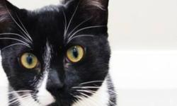 """Breed: Tuxedo   Age: Young   Sex: M   Size: S The clinic says of Carter: """"He is a typical teenage boy. Lots of energy and loves to play. He seems to get along with any sort of animal that comes his way and is quick to make friends. He's a very sweet boy"""