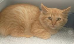 Breed: Domestic Long Hair - orange   Age: Young   Sex: M   Size: M My name is Homee. I am a pretty timid kitty. I really love to be pet, even if it is from my litterbox. I will need a home with older children and lot's fo patience. I do have the potential