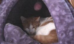 Breed: Domestic Medium Hair - orange and white   Age: Young   Sex: M   Size: M tj is shy but will come to you for a pet or two. he has been in a depression until he got his new friend marbles to play with. he is a wonderful cat and likes his space   View