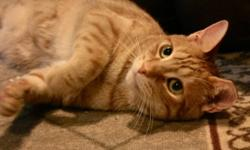 """Breed: Domestic Short Hair-orange Tabby - Orange   Age: Young   Sex: M   Size: M Neutered, Vaccinated, DOB December 1, 2009. Barney is a real """"live wire"""" - he is an entertainer who loves to play with you and his favourite string! He loves to be patted and"""