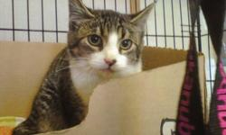 Breed: Domestic Short Hair - brown Tabby - Brown   Age: Young   Sex: M   Size: L When Fraidy came to us at 6 months old, he had to experience with humans. He was very nervous and would lash out at us if he was afraid. After working with him for the last 3