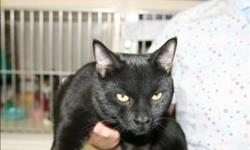 Breed: Domestic Short Hair   Age: Young   Sex: M   Size: M Hi! My name is Quantum! I am just a year old and very adoptable. My fur is shinny black. I love affection and toys. My owner could not take care of me anymore so that is how I came to the shelter.