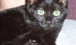 Breed: Domestic Short Hair   Age: Young   Sex: M   Size: M Primary Color: Black Age: 0yrs 6mths 0wks Animal has been Neutered   View this pet on Petfinder.com Contact: Abbotsford BC SPCA | Abbotsford, BC
