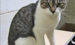Breed: Domestic Short Hair   Age: Young   Sex: M   Size: M Hi! I`m Spider. I came to the shelter when I got in trouble for not using my litter box. Turns out, I had a urinary tract infection, not a litter box issue. I am very friendly, energetic and