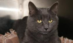 Breed: Domestic Short Hair   Age: Young   Sex: M   Size: M Vickson was born a stray and fended for himself the first three months of his life, with his sisters Violet and Violetta. A concerned citizen noticed the trio living in an abandoned shed and