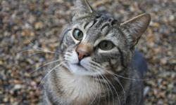 Breed: Tabby - Brown   Age: Young   Sex: M   Size: L Hi, my name is Natters and I am pleased to meet you. I am young one year old male cat looking for a new home. I am very friendly and I talk all the time. I am used to sharing a living space with other
