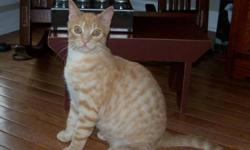 Breed: Tabby - Orange   Age: Young   Sex: M   Size: M Here's our Chevy...about 10 month s old ( we estimate that he was born Sept/11). He had a rough start to his life, but you certainly cannot tell that now, other than he is a little nervous with loud