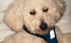 Breed: Bichon Frise Poodle   Age: Young   Sex: M   Size: S Lucas is almost a year old and looking for a new home. He hopes to find one with a dog he can spend time with! Lucas enjoys playing with dogs,,large or small! This adorable boy is quite skittish
