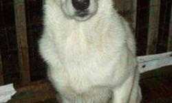 Breed: German Shepherd Dog Labrador Retriever   Age: Young   Sex: M   Size: L Moi c'est Karaken, je suis le jumeau d'Akohserake. On dit de moi que je suis très tannant parce que j'ai beaucoup d'énergie à dépenser. J'adore me