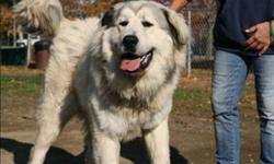 Breed: Great Pyrenees   Age: Young   Sex: M   Size: XL Dusty was brought to us after his previous guardians could not take him with them after they moved. Dusty is very friendly and affectionate. He can be quite gentle and easy going with people, and
