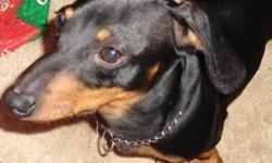 "Breed: Dachshund   Age: Young   Sex: M   Size: S If you look up the word ""clown"" in the dictionary, you might see Rudy's picture next to the definition. This delightful Miniature Dachshund will keep you smiling with his comical antics and sunny"