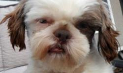 Breed:  Shih Tzu   Age:  1 yrs old   Sex:  M   Size:  S   My name is Benjamin and I am a year old male Shih Tzu. I weigh around 12 lbs and am cream and chocolate in colour. I am friendly and playful! I was rescued from a high kill shelter. I am looking