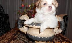 We have 4 very special, healthy femails puppies, 2-2.5 lb. each, incredible  gute, full of joy and happines. One of them has blue eyes. We take a very good care of them and looking for loving, good family to take them home. Vet chcked, 1st shot done,