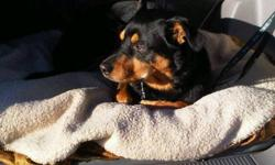 Beautiful Rottie X, 4 yr old male, neutered. Needs a home quickly. I have moved already and can't take him with me. His temporary housing has run out. I love this dog dearly and want to find him a good home. He is best suited to mature, experienced owners